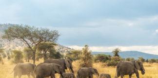 Elefantenfamilie mitten in der Serengeti in Tansania