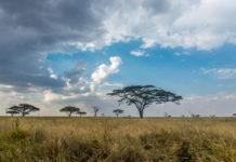 Schöne Bäume in der Serengeti in Tansania