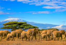 Elefantenherde im Amboseli Nationalpark mit dem Kilimanjaro im Hintergrund