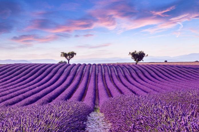 Blühende Lavendelfeld in der Provence in Frankreich