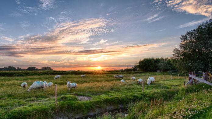 Schafe auf Pellworm