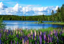 Lupinen am See in Südschweden