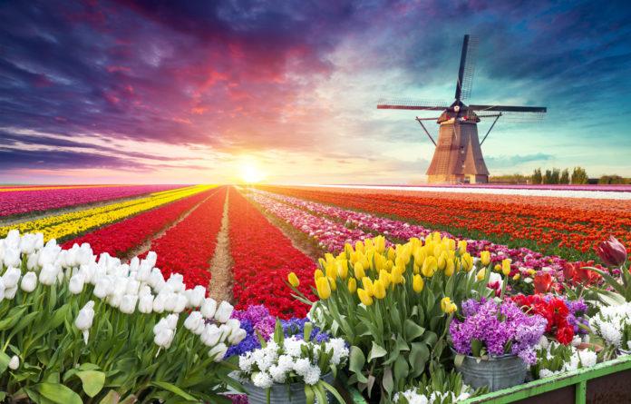 Bunte Tulpenfelder in Holland mit Windmühle